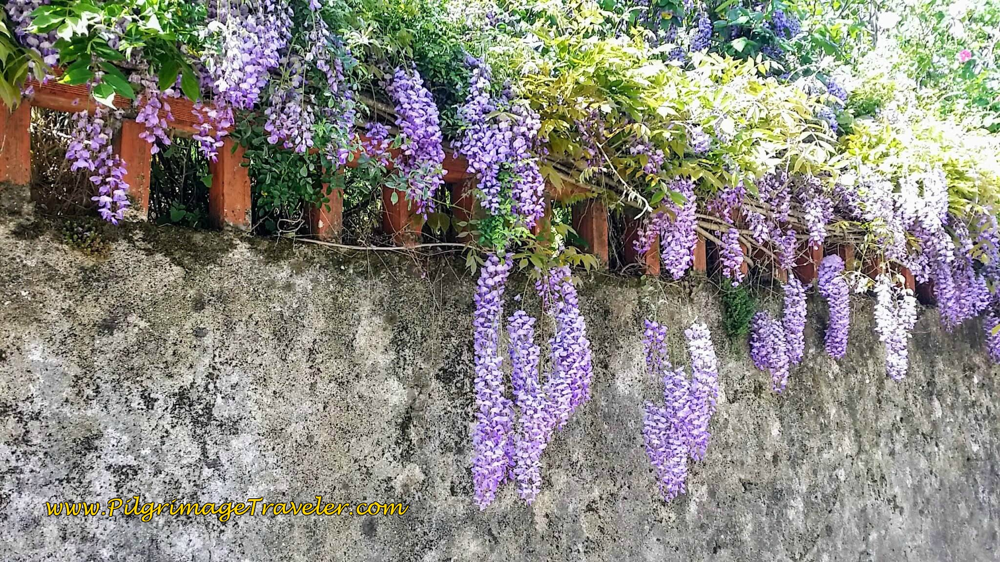 Wisteria Hangs From the Walls