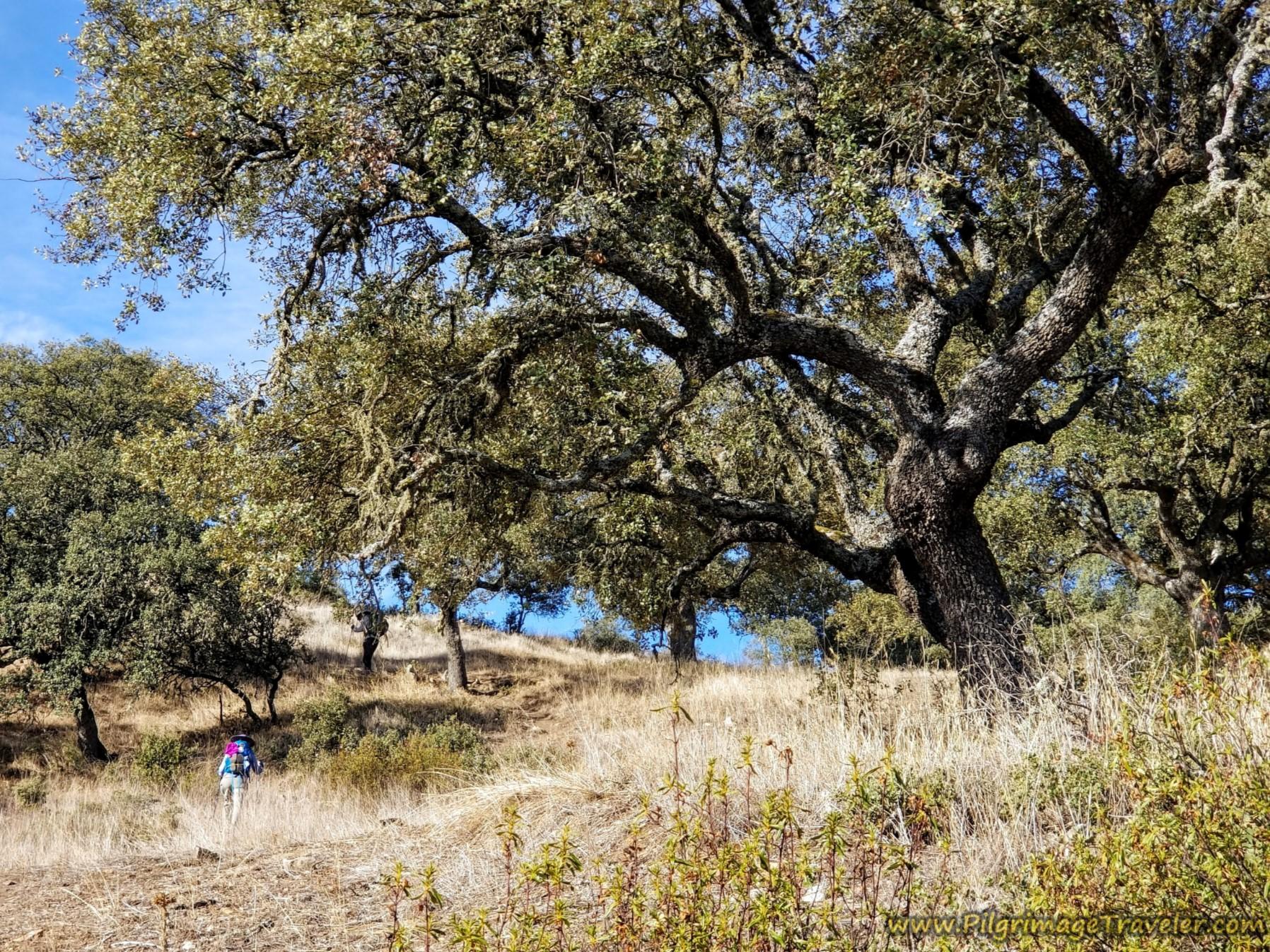 Evergreen Oak Forest