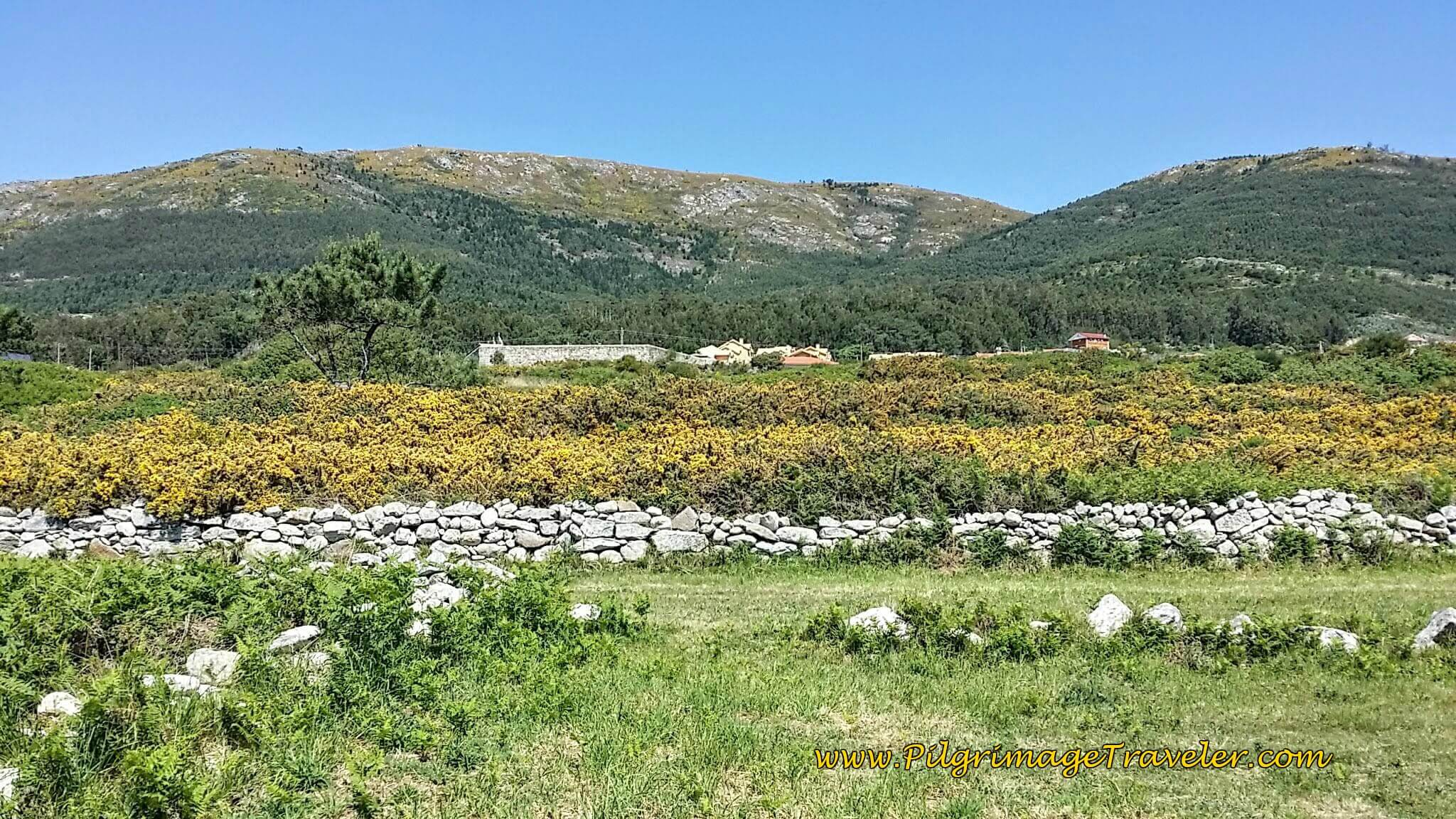 Blooming Yellow Bushes with Stone Walls on day ninteen of the Portuguese Way