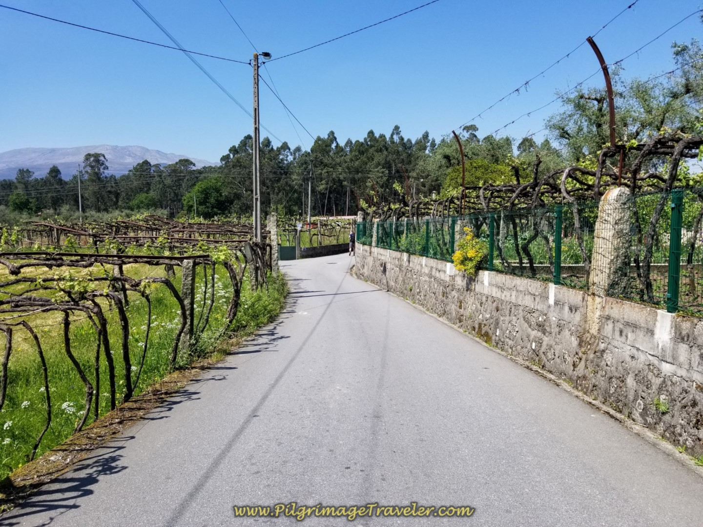 Vineyards Line the Rua do Caminho do Santiago in Seara on day seventeen on the Central Route of the Portuguese Camino