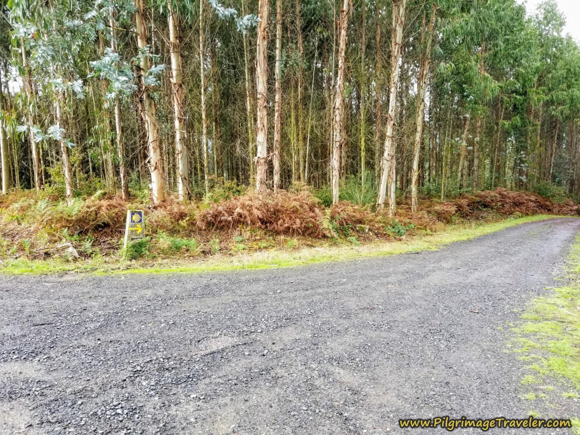 Continue Onward Through Eucalyptus Forest, Camino Sanabrés, Estación de Lalín to Bandeira