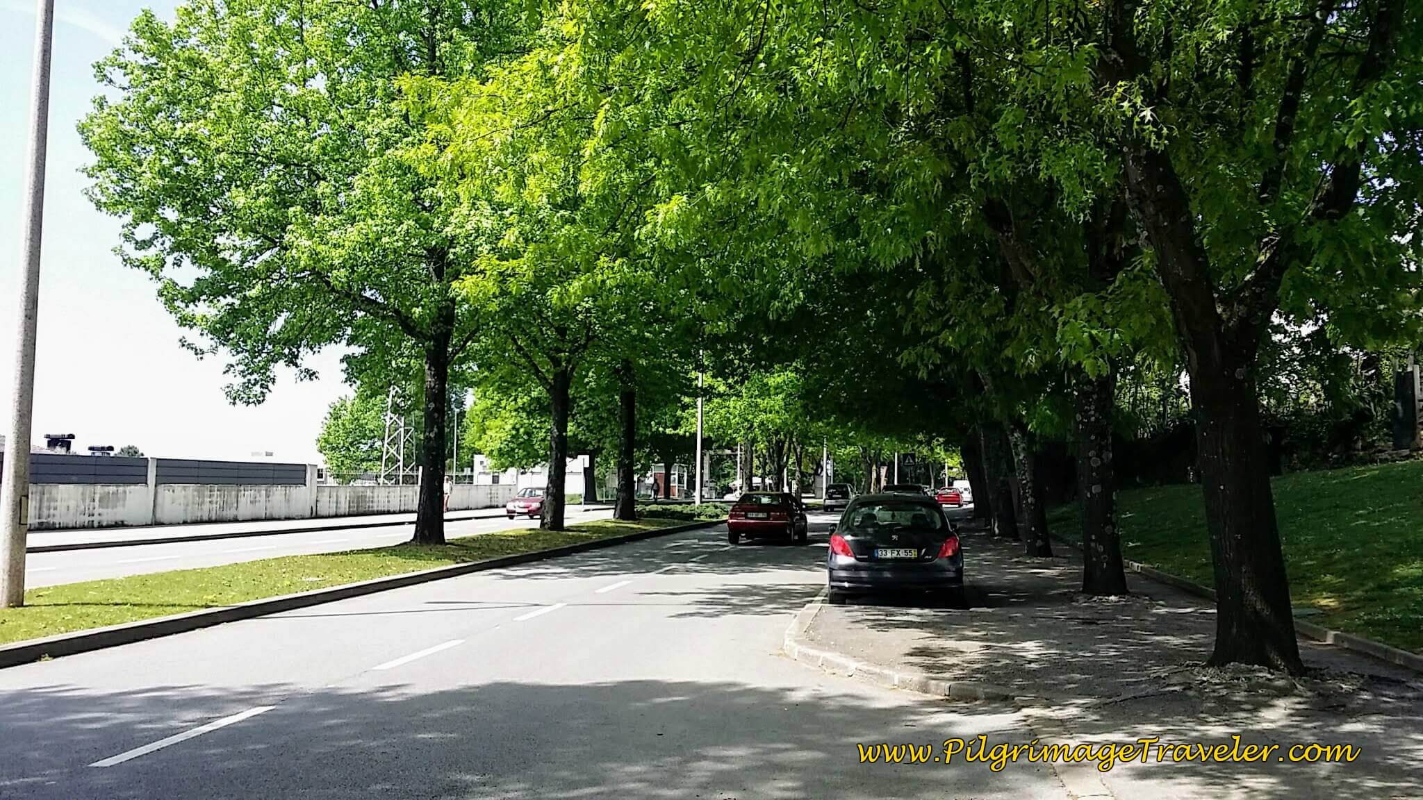 At 3rd Roundabout, Walk Straight On Welcome Tree-Lined Rua Dr. Renato Araújo on day thirteen of the Portuguese Camino