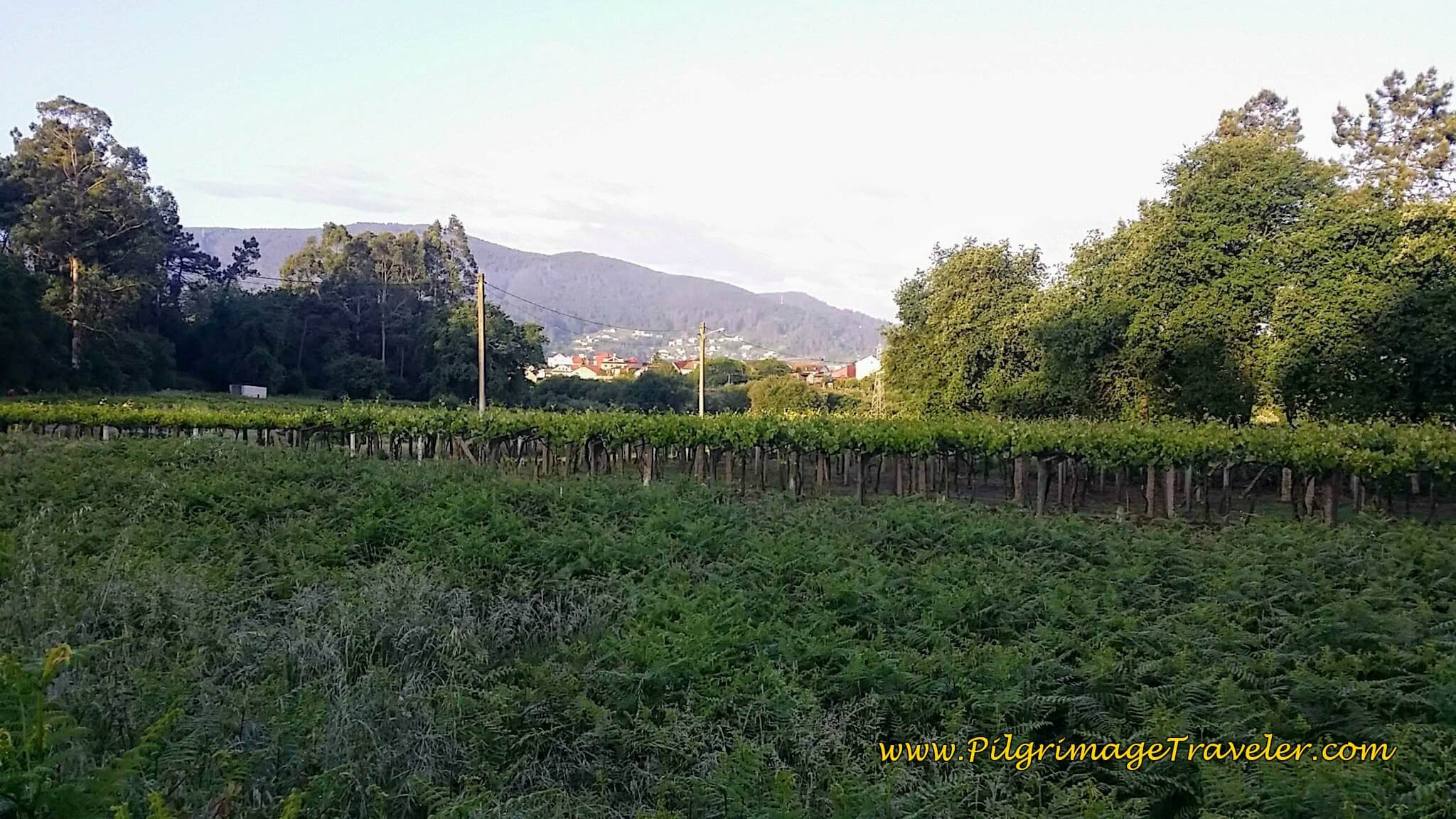 Bountiful and Plentiful Vineyards, day twenty-two on the Camino Portugués