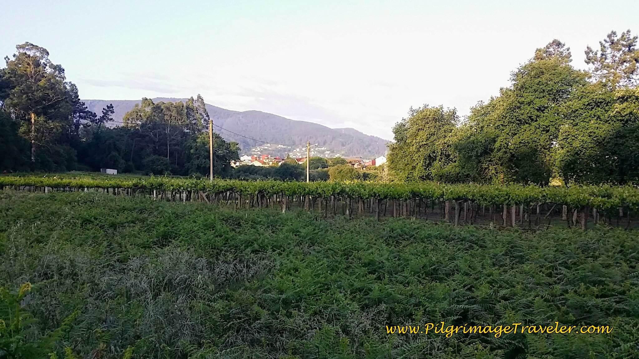Bountiful and Plentiful Vineyards, day twenty-two on the Camino Portugués