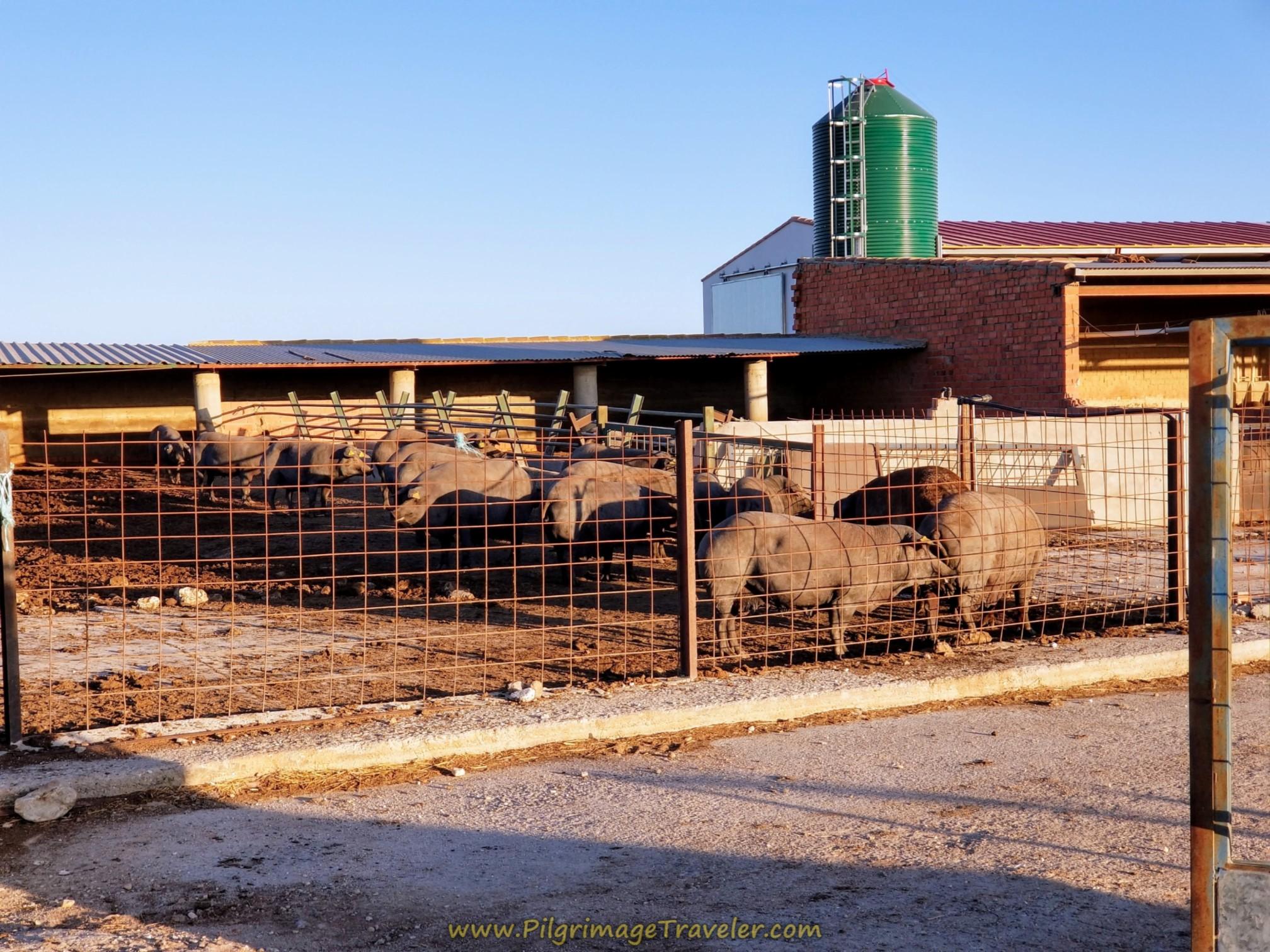 It's a Pig Farm