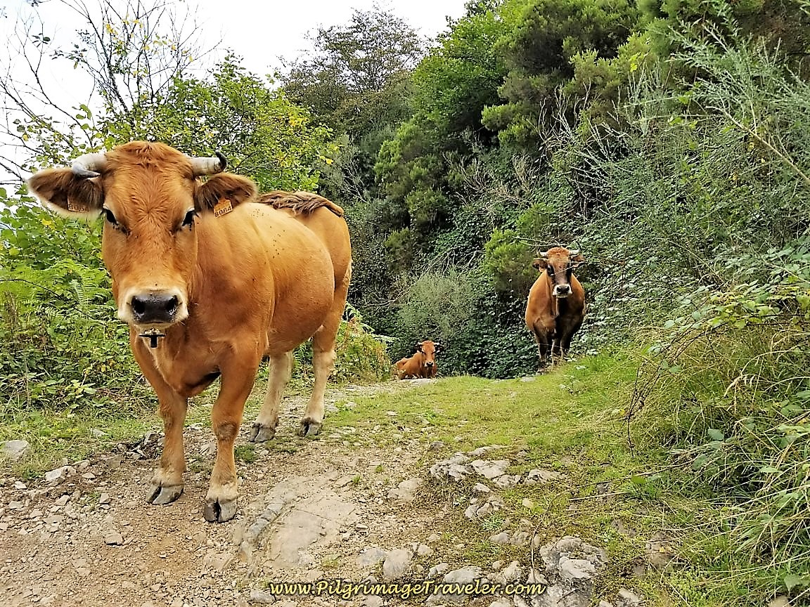 Cows Climbing on Camino de San Salvador on Day Three
