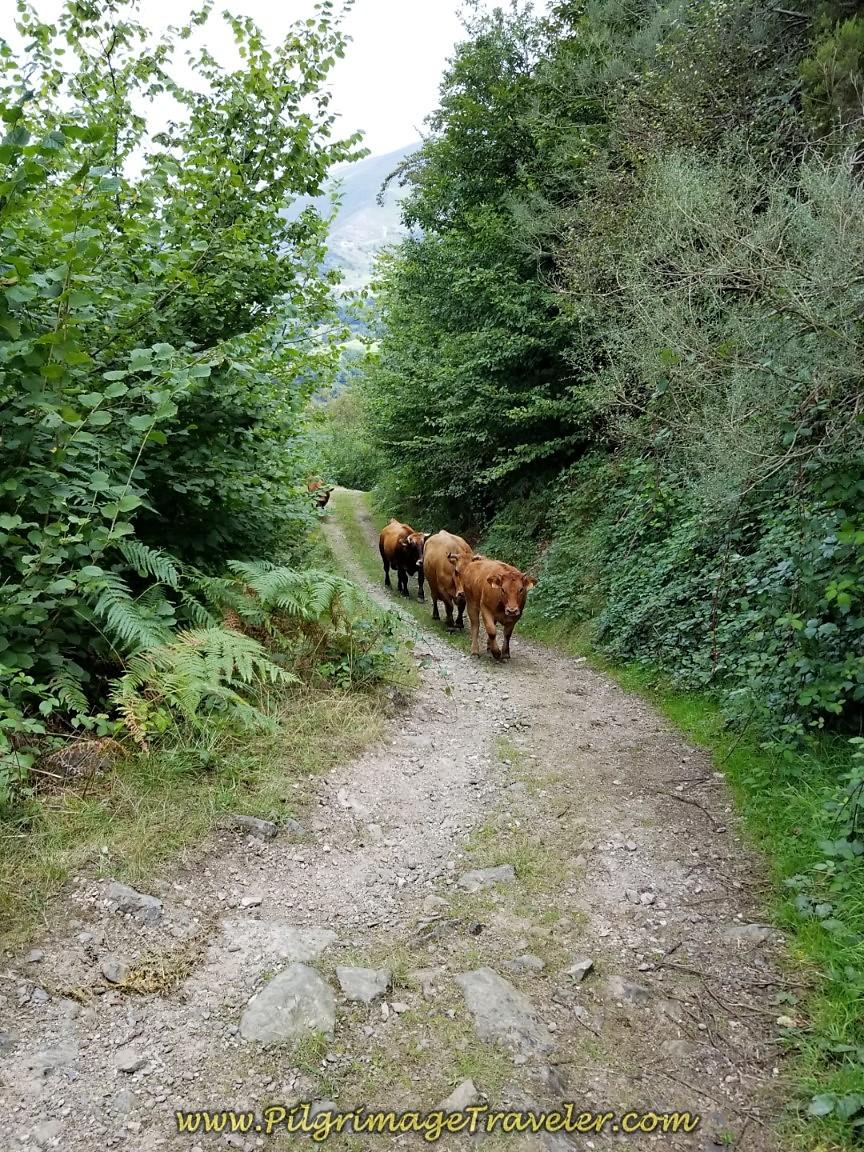 Cow Conga Line