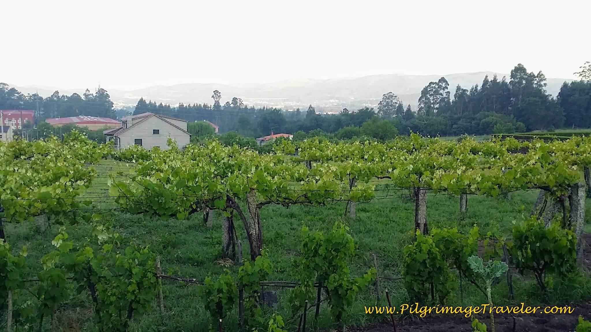 Valga and Vineyards on Day Twenty-Four, Camino Portugués