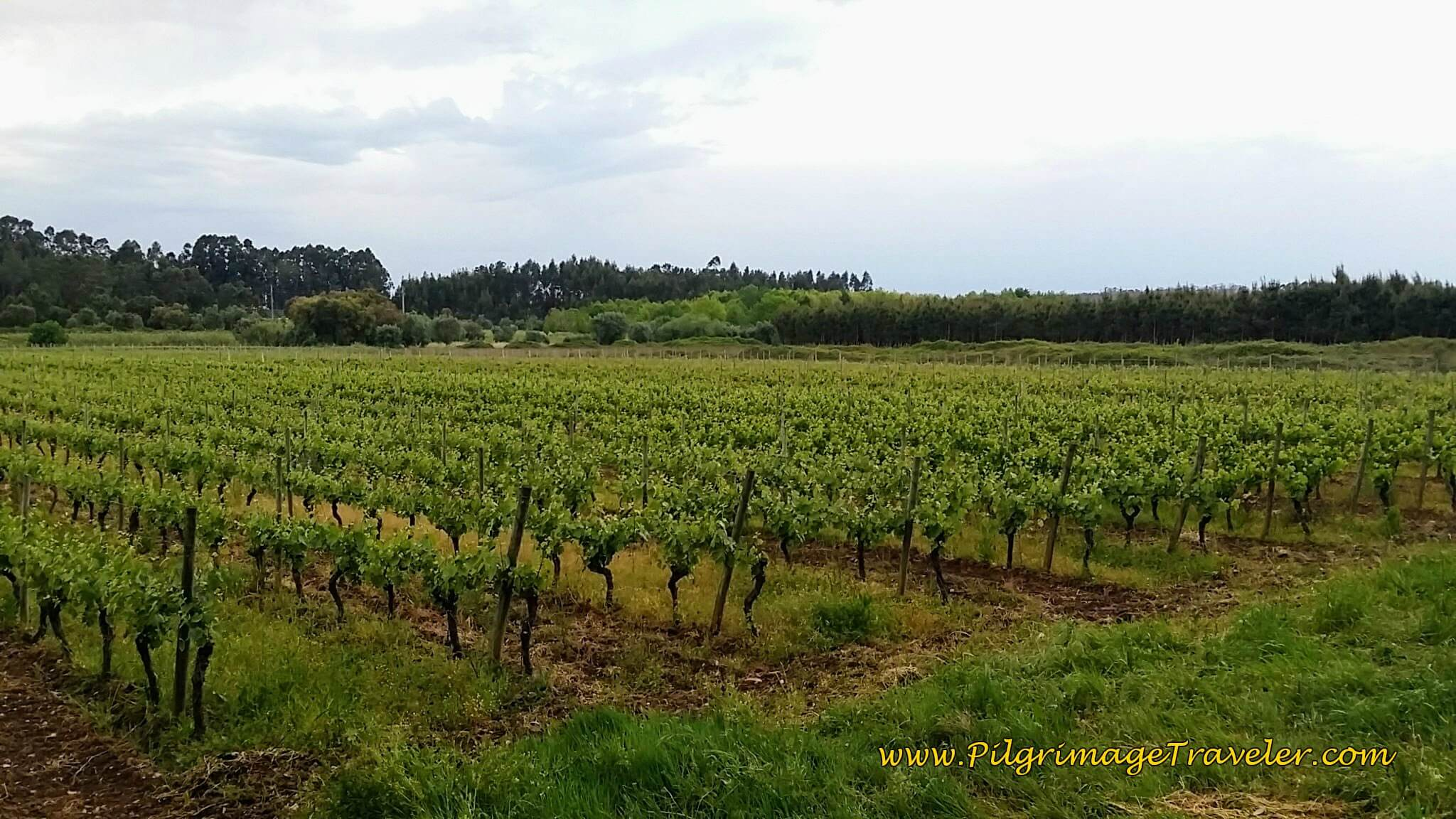 Vineyards on the Estrada Poços Outside Town on day eleven on the Portuguese Camino