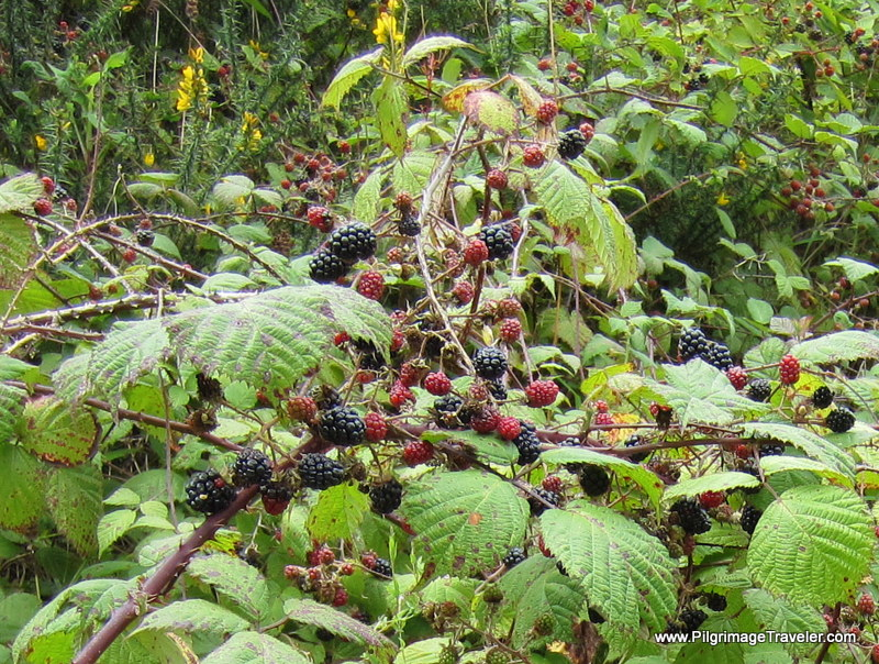 The Camino Primitivo Provides Luscious Blackberries