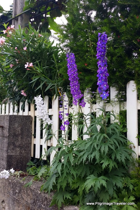 Towering Purple Delphiniums, Day One, Camino Primitivo, Asturias, Spain