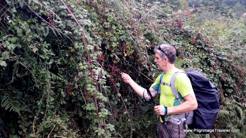 Hedges of Blackberries, First leg, Camino Primitivo, Asturias, Spain