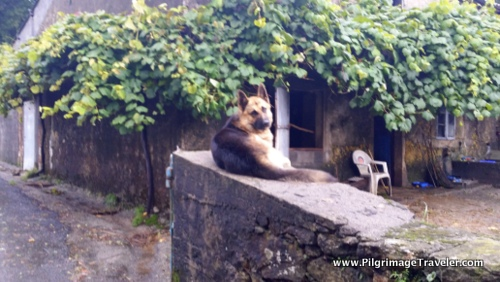 The German Shepherd - A common sight on the Camino Finisterre