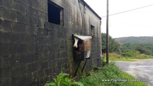 The Contemplative Camino Cow, Camino FInisterre