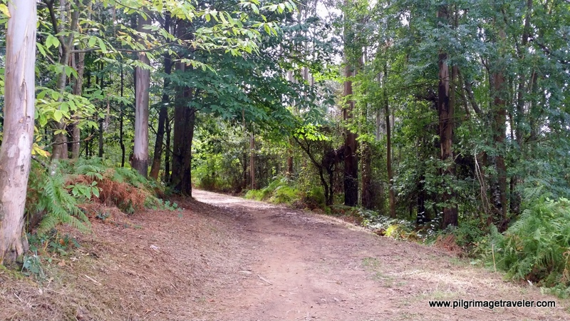 Camino Inglés Forest Path