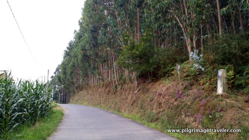 Corn and Eucalyptus Cultivation