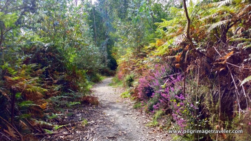 Heather-Lined Forest Trail, Camino Inglés, Spain