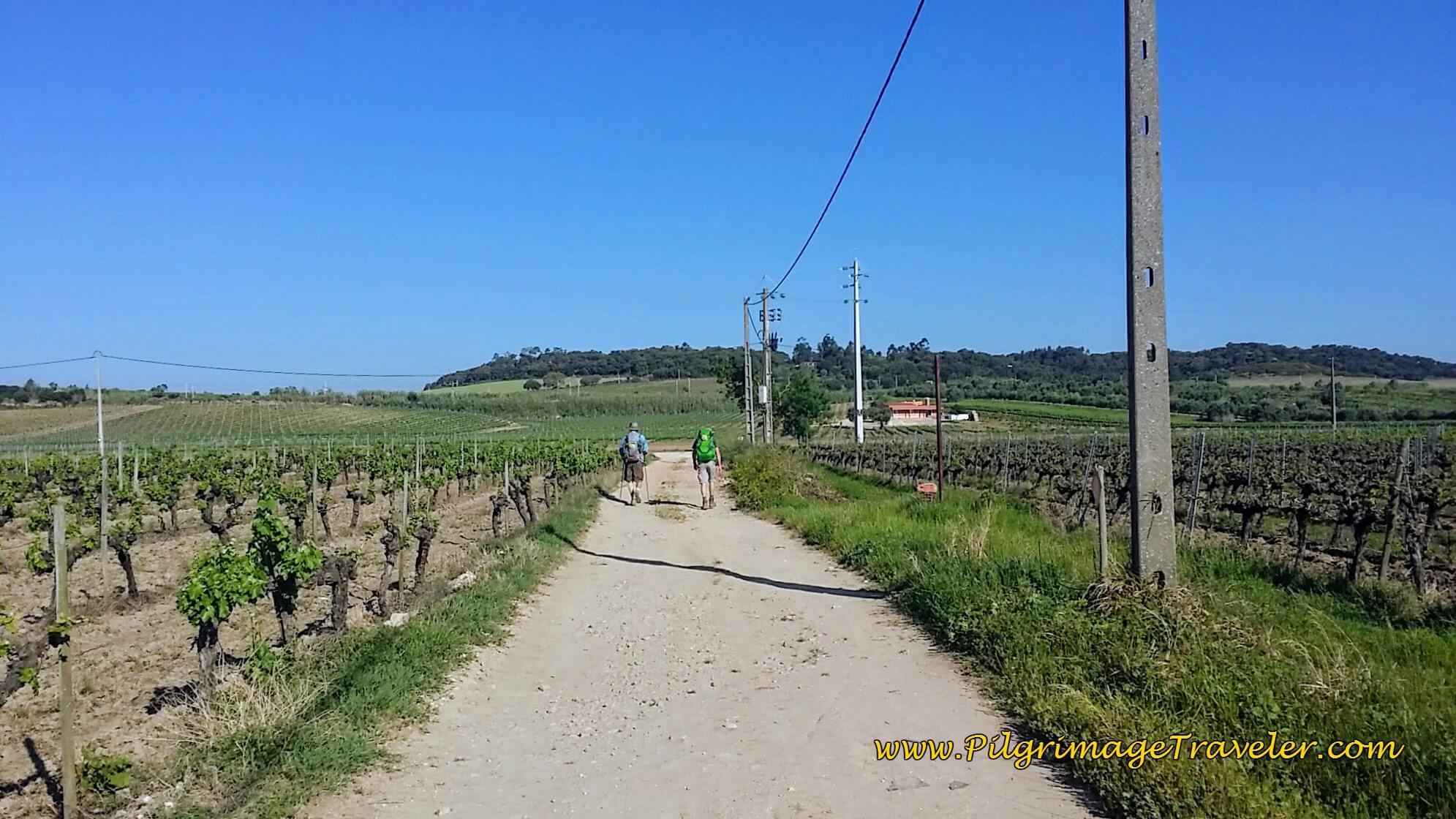 Endless Vineyards Between Lisbon and Porto on the Camino Portugués