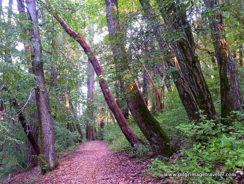 Light thru the trees, on a path in the woods, near Santa Cruz, California..