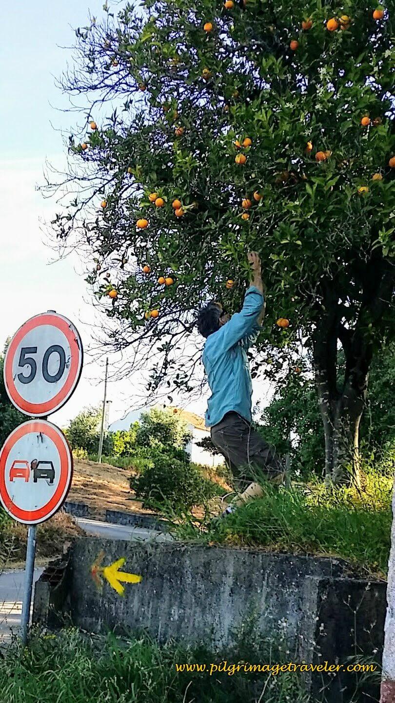 Picking Oranges On the Camino Portugués
