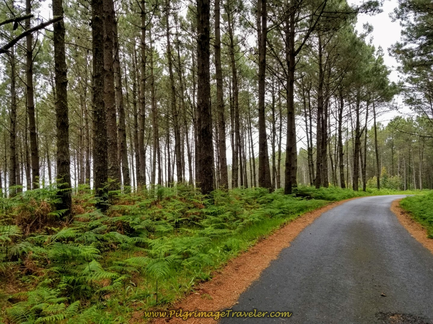 Paved Road Through Forest Leaving Buxán on  the Camino Finisterre to Muxía