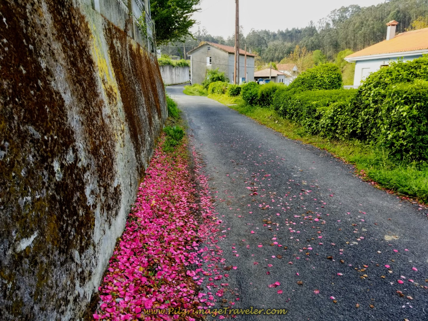 Camellia Petals Line the Road on day four of the Camino Inglés