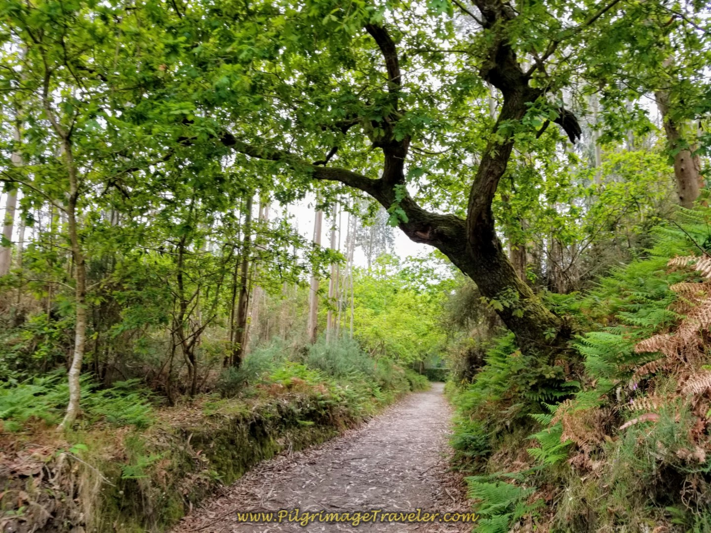 Continue Through Forest on Path on day one of the Camino Finisterre