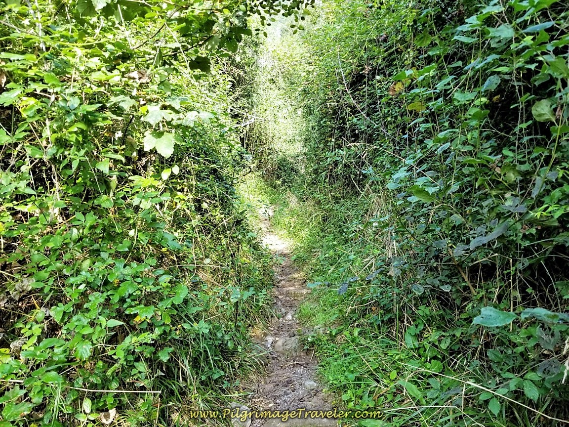 Tangled Trail From Portazgo on day six of the Camino de San Salvador