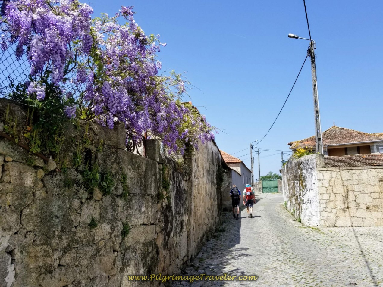 Wisteria on the Road to Tresval on day fifteen on the Central Route of the Portuguese Way