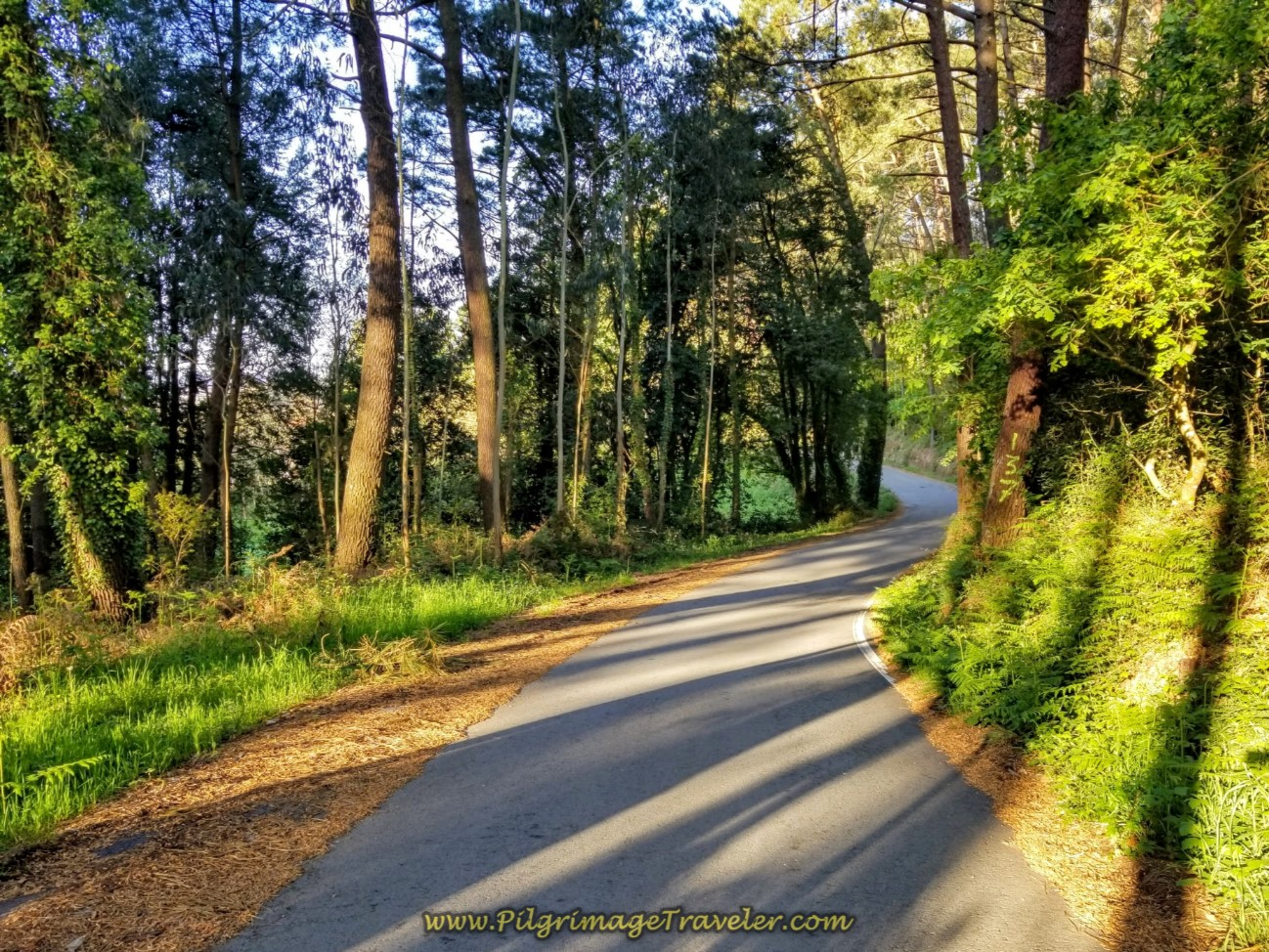The Paved Camino Inglés Through Forest on Day Six
