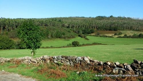 Cultivated Eucalyptus Trees, Galicia, Spain