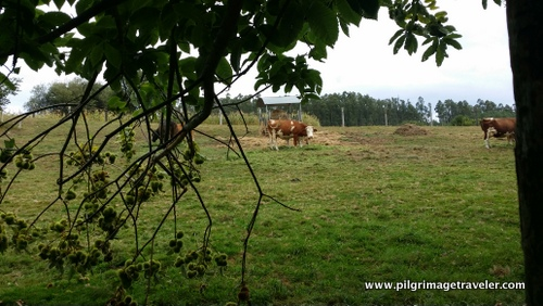 Cows and Chestnuts, Camino Inglés, Spain