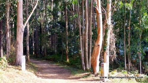 The Way through the Eucalyptus Forest